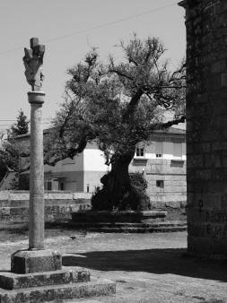 Olivo en la iglesia de Corujo. Fotografía Eduardo Galovart