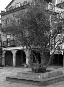 Olivo en la plaza del Berbés. Fotografía Eduardo Galovart