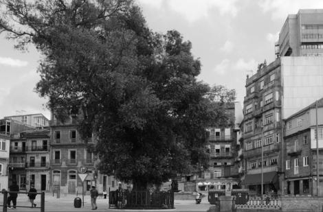 El olivo con la verja colocada en 1932. Fotografía Eduardo Galovart