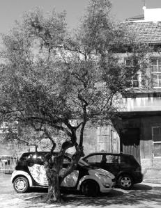 Olivo de la Plaza de Pescadores en el Casco Viejo